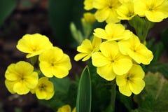 первоцветы Стоковая Фотография RF