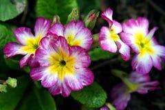 первоцветы Стоковое Фото