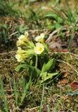 Первоцветы Cowslip Стоковые Изображения RF