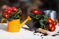 Potting первоцветов стоковая фотография