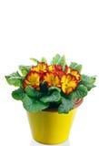 Первоцвет в баке Стоковая Фотография RF