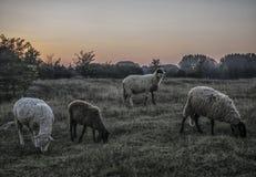 первоцвет положения стаи Австралии зашкурит овец Тасмании Стоковое Фото