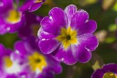 Первоцвет цветка предпосылки Стоковое Фото