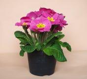 первоцвет цветка розовый Стоковая Фотография RF