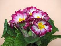 первоцвет цветка розовый Стоковые Фото