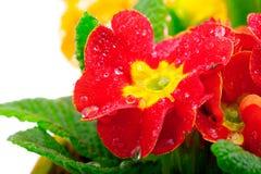 первоцвет Стоковое Фото