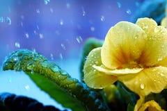 первоцвет Стоковые Фото