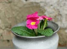 Первоцвет, primula vulgaris, предыдущий цветок весны Они имеют высокое разнообразие цветов и могут быть используемые обоими как a Стоковая Фотография