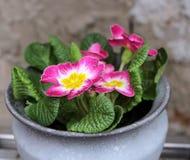 Первоцвет, primula vulgaris, предыдущий цветок весны Они имеют высокое разнообразие цветов и могут быть используемые обоими как a Стоковое Фото