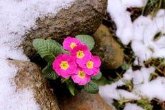 Первоцвет, primula vulgaris, предыдущий цветок весны Они имеют высокое разнообразие цветов и могут быть используемые обоими как a Стоковые Фотографии RF