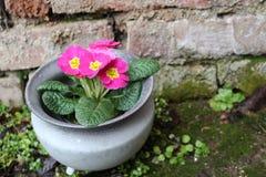 Первоцвет, primula vulgaris, предыдущий цветок весны Они имеют высокое разнообразие цветов и могут быть используемые обоими как a Стоковые Изображения