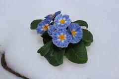 Первоцвет, primula vulgaris, предыдущий цветок весны Они имеют высокое разнообразие цветов и могут быть используемые обоими как a Стоковые Изображения RF