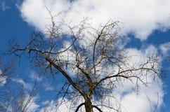 Первые бутоны на дереве в предыдущей весне на предпосылке голубого неба с облаками Будить природы весной стоковая фотография