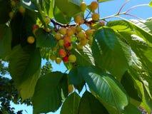 Первые вишни на ветви Стоковая Фотография