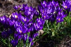 Первые голубые, пурпурные крокусы в саде стоковые фото