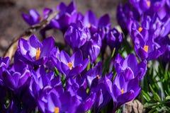 Первые голубые, пурпурные крокусы в саде стоковое фото rf