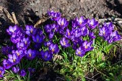 Первые голубые, пурпурные крокусы в саде стоковые фотографии rf