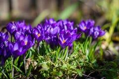 Первые голубые, пурпурные крокусы в саде стоковые изображения rf
