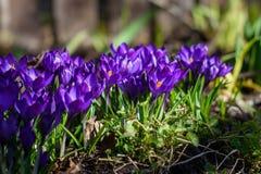 Первые голубые, пурпурные крокусы в саде стоковая фотография