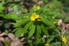 Первые желтые цветки весны Стоковые Изображения RF