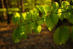 Первые листья в весеннем времени Стоковая Фотография RF