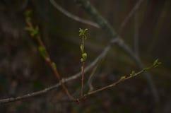 Первые листья зеленого цвета весны вытекая на ветви Стоковое фото RF