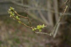 Первые листья зеленого цвета весны вытекая на ветви Стоковые Изображения