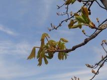 Первые листья зеленого цвета на каштане Стоковые Фотографии RF