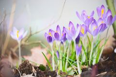 Первые крокусы весны цветут, внешняя природа весеннего времени Стоковая Фотография RF
