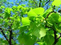 первые листья Стоковая Фотография