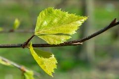 Первые лист, растительность и природа березы весны будя стоковое изображение