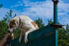 Первые победы владельца и собаки в преодолевать стену Средний подъем Alabai овчарки Alabay через очень высокое woode стоковое фото rf