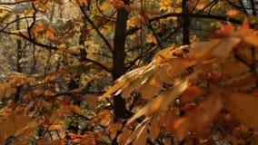 Первые снежности осени Снег падает на деревья и искру осени золотые в солнце падая листья акции видеоматериалы