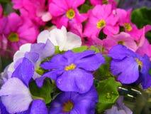 Первые цвета смешивания Primula цветков весен закрывают вверх Стоковые Изображения RF