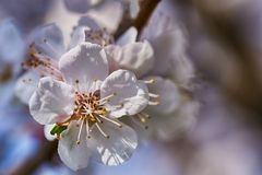 Первые цветки абрикоса стоковое фото