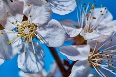 Первые цветки абрикоса стоковая фотография