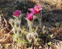 Первые цветки весны - винтажное влияние Красивые цветения Fuscia Стоковое Фото