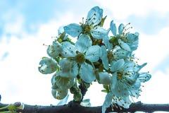 Первые цветки весны вишневого дерева Стоковые Фото