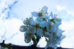 Первые цветки весны вишневого дерева Стоковые Изображения RF