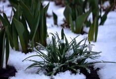 Первые цветки весны в снеге Стоковые Фотографии RF