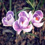 Первые цветки крокуса Цветения весны постаретое фото Стоковые Изображения
