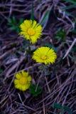Первые цветки мать и мачеха tussilago Стоковое Изображение RF