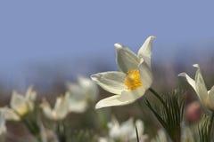 первые цветки Стоковые Фотографии RF