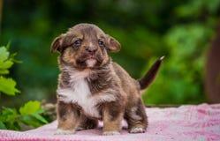 Первые шаги маленьких щенят Стоковое Фото
