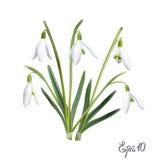 Первые snowdrops Galanthus Стоковые Изображения RF
