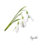 Первые snowdrops Galanthus Стоковая Фотография