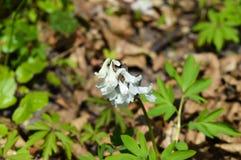 Первый белый цветок весны Стоковое Изображение RF