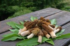 Первый гриб сморчка весны на деревянном столе Стоковая Фотография