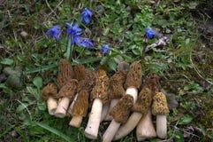 Первый гриб сморчка весны с голубыми цветками Стоковое фото RF