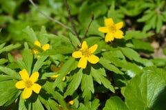 Первый желтый цветок весны Стоковое фото RF